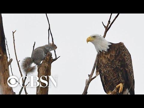 Carson - Eagle vs Squirrel