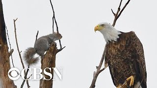 Photo captures standoff between bald eagle and squirrel