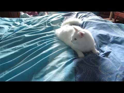 Shira helps making the bed ~ Angora cat