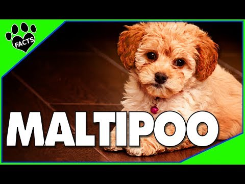 Designer Dogs 101: Maltipoo Cutest Designer Dog Mix Facts Maltese Poodle Mix  - Animal Facts