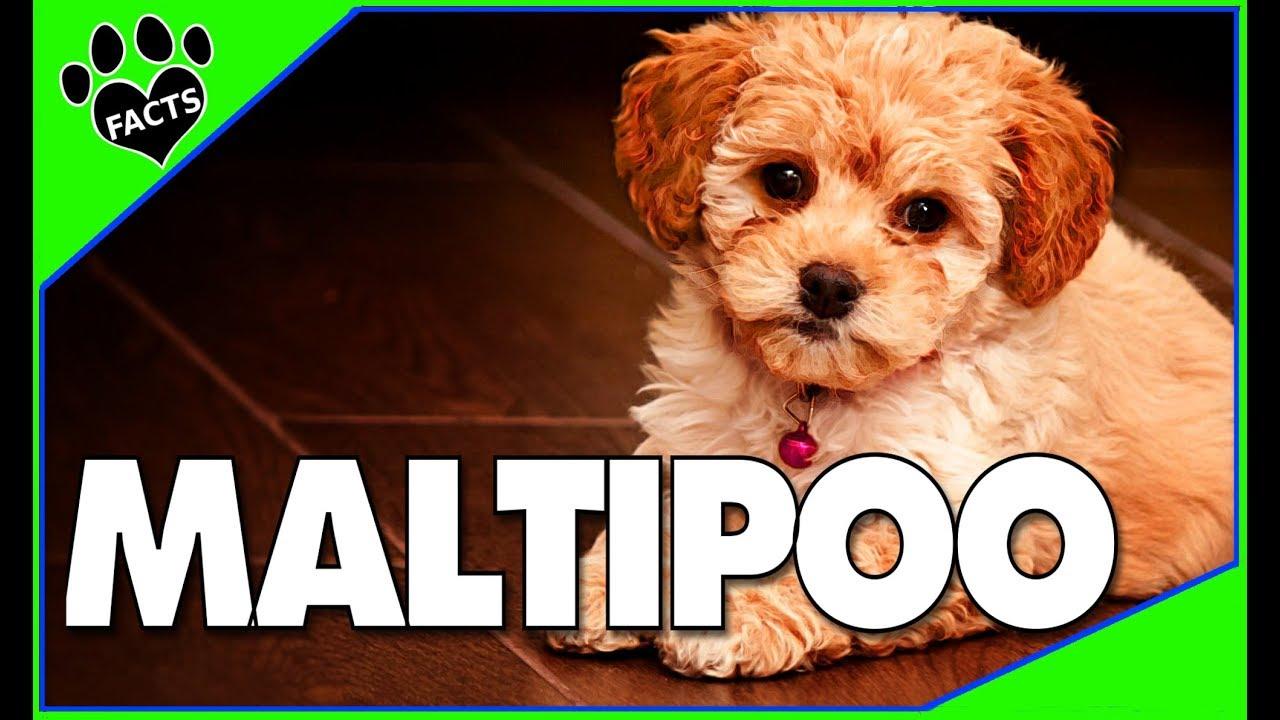 Maltipoo Dogs 101 Maltese Poodle Designer Dog Mix
