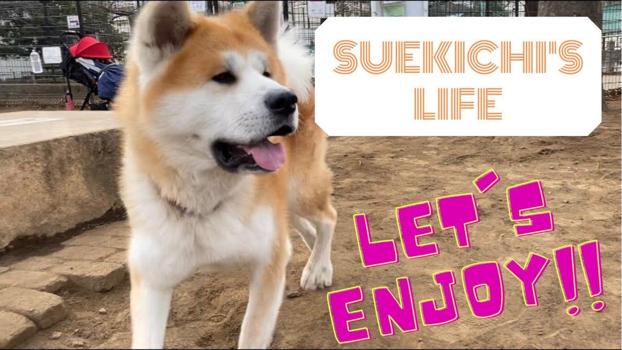 【秋田犬】ドッグランのすえきち【akitainu in dog park】