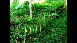 Kratom Ethnobotanical Visionary Herbals thumbnail
