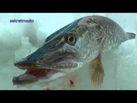 Cмотреть Зимняя рыбалка и ловля щуки на жерлицы с рыболовным шпионажем