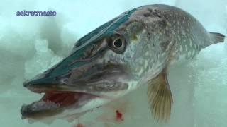 Зимняя рыбалка и ловля щуки на жерлицы с рыболовным шпионажем(В данном видео о зимней рыбалке я не только ловил щуку, но еще и окуня. Щуку мы ловили на жерлицы где живцом..., 2015-02-05T14:14:33.000Z)
