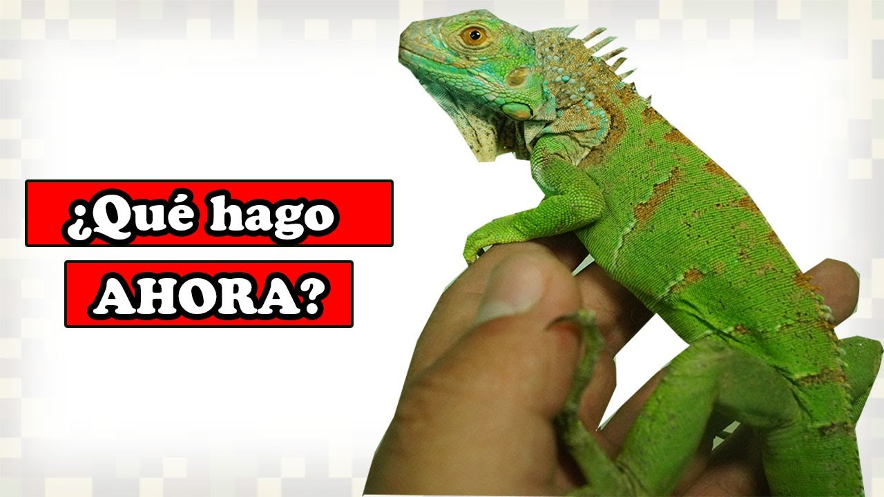 02 Compre Una Iguana Que Hago Ahora YMX REPTIL