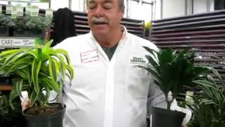 Dracaena Intro by Kraft Gardens -Bell Nursery-