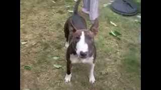 Brindle English Bull Terrier Teasing Me To Play Pig Eared Dog Very Playful