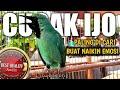 Cucak Ijo Gacor Paling Ampuh Buat Pancingan Cucak Ijo Biar Full Gacor Bongkar Isian  Mp3 - Mp4 Download