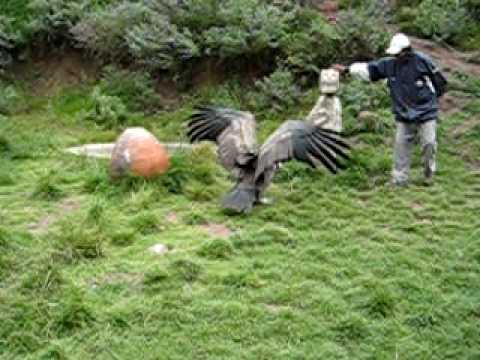 Andean Condor 1