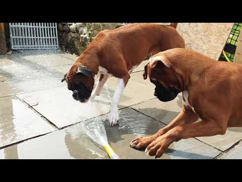 Boxer Dogs Being Boxer Dogs :D  - Layla The Boxer Dog