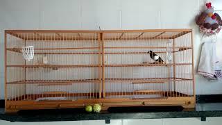 Dica de manejo básico para Trinca Ferro - RC Pássaros
