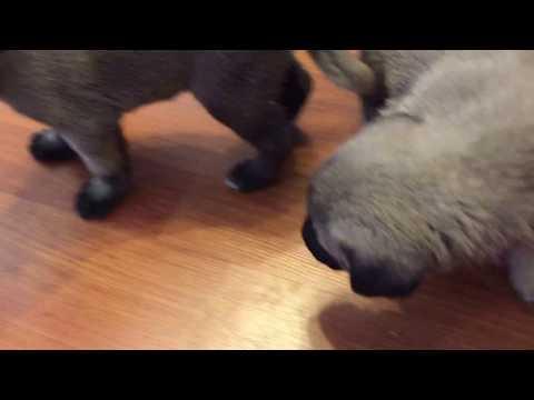 Kangal puppies