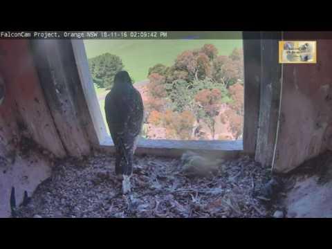 14:10-mell-fledges-falcon-peregrines-orange-nsw-18-nov-2016