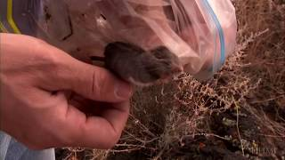 hhmi the making of the fittest natural selection and adaptation rock pocket mouse