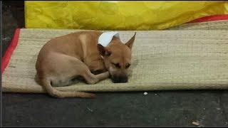 Cảm động: Chú chó nhỏ buồn bã nhịn ăn để túc trực bên Chủ vừa ngủm củ tỏi không chịu rời