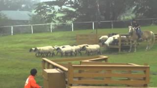 2013年9月7日 那須どうぶつ王国での牧羊犬を使ったショーの一部です。ワ...