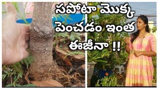 సపోటా మొక్క పెంచడం ఇంత ఈజీనా !! Sapota plant care || how to identify grafted plant