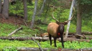 13 year old shoots elk in the chest!