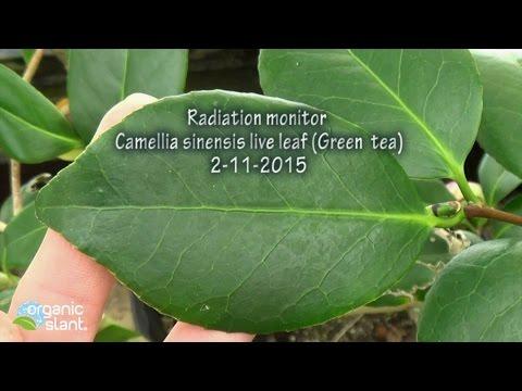 Radiation monitor Camellia sinensis raw live leaf (Green tea leaf extract) 2-11-2015 | Organic Slant