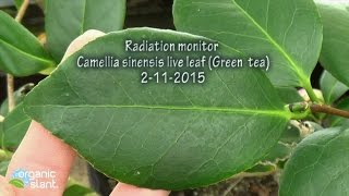 Radiation monitor Camellia sinensis raw live leaf (Green tea leaf extract) 2-11-2015 | Organic Slant