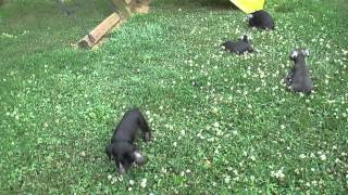 Miniature Schnauzer Puppies For Sale In Pa