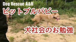 アメリカンピットブルテリア犬社会のお勉強.