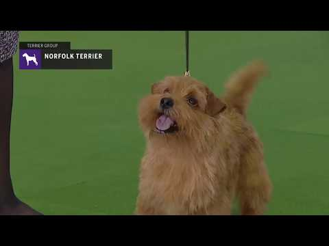 Norfolk Terriers | Breed Judging 2019