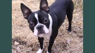 Boston Terrier Dogs | Dog Breed Boston Terrier Picture Collection Ideas