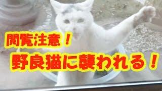 【野良猫 喧嘩】飼い猫が野良猫に襲われる決定的瞬間!心臓が弱い方は閲...