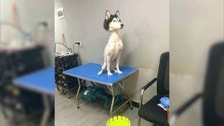 Darum sollte man einen Husky NIEMALS rasieren!