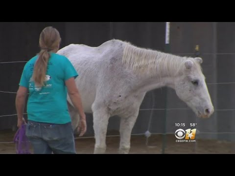 Old Horse Stages His Own Rescue In Time for Christmas