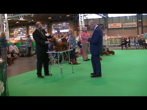 Standard Long Hair Dachshund in Crufts 2017 E