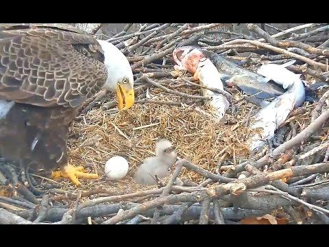 Washington, DC  Eagles 3 21 17  No shortage of food here 2nd egg looks like will not hatch