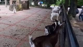 Zdenerwowane samce  kóz karłowatych