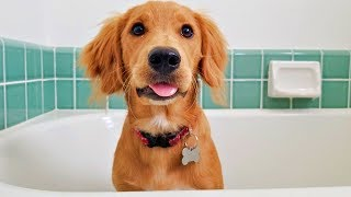 Golden Retriever Extreme Puppy Bath Challenge! ( Jalapeno the dog )