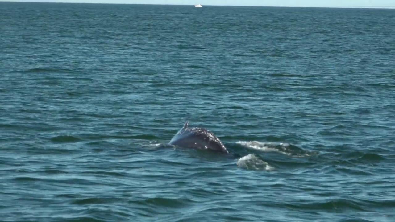 Whale Watching Off Virginia Beach You