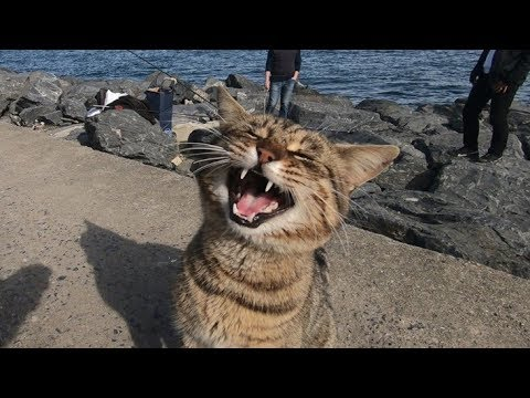 cats-meowing-loudly-|-make-your-cat-or-dog-go-crazy