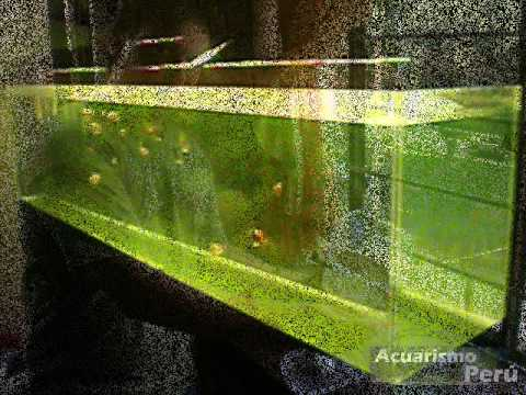 Criadero de cesar castre locogoldfish youtube for Criadero de peces en casa