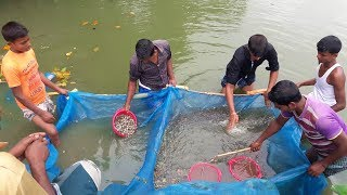 Climbing Perch Fish Fry Catching From Pond with Net Fishing