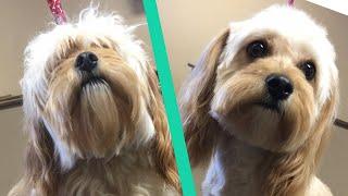 How To Trim A Puppy's Face | Teddy Bear Face | Teddy Bear Head