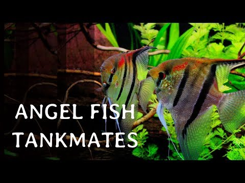 12 Best Tankmates Of Angel Fish