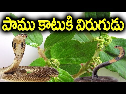 ఈ ఆకుతో పాము కాటుకి విరుగుడు - Anti Position For Snake Bite #Diabetes Telugu