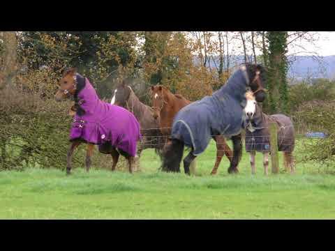 Establishing Rank in the horse world. Friesian & Arab