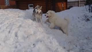 Весенние деньки - сибирские хаски и пиренейская горная собака