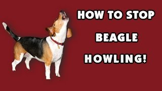How To Stop My Beagle From Howling??? Like Yesterday!!!  Make Choices You'll Never Regret*