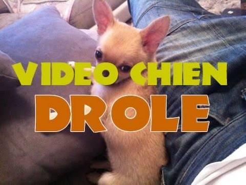 video drole chihuahua dog funny video youtube. Black Bedroom Furniture Sets. Home Design Ideas
