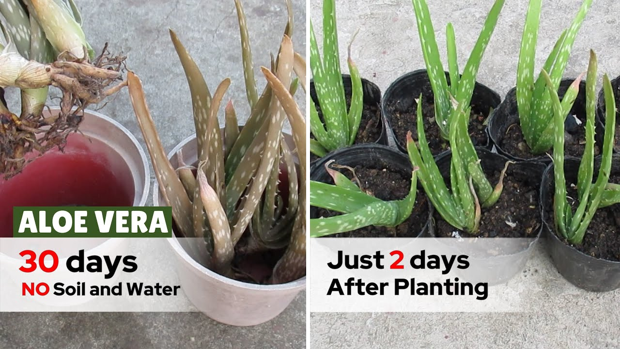 Aloe Vera Pups Without Soil and Water in Direct Sunlight