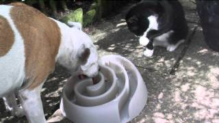 Staffordshire Bull Terrier And Cat Join Forces - Buster Food Maze