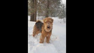 Мой пёс Дар-ездовая собака. Идём на прогулку.